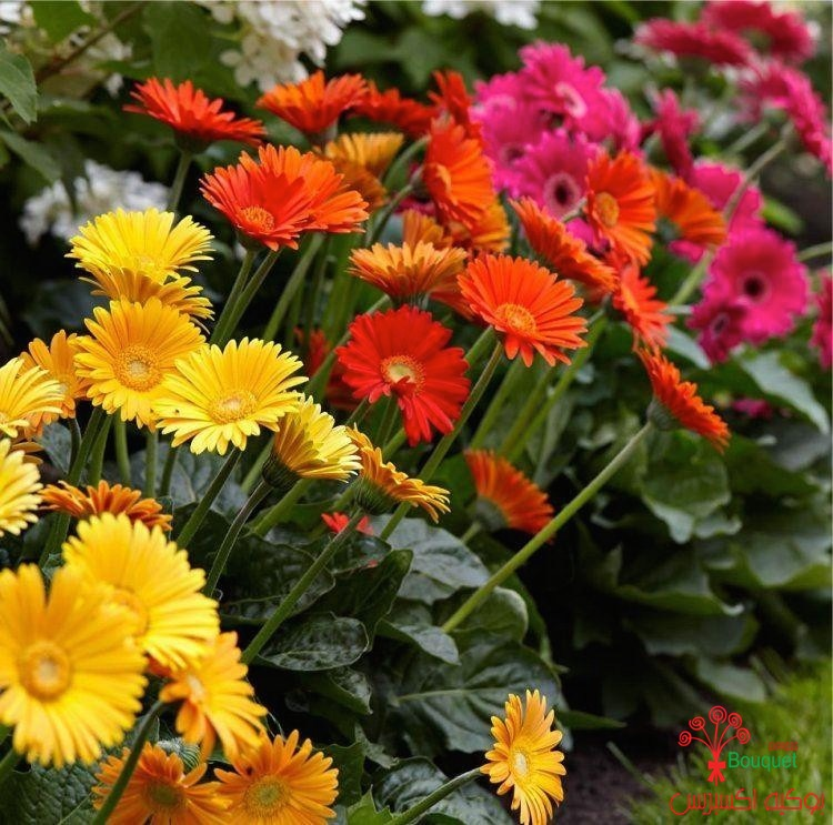 special-deal-gerbera-plants-selection-of-3-beautiful-hardy-gerberas-with-giant-daisy-flowers-602