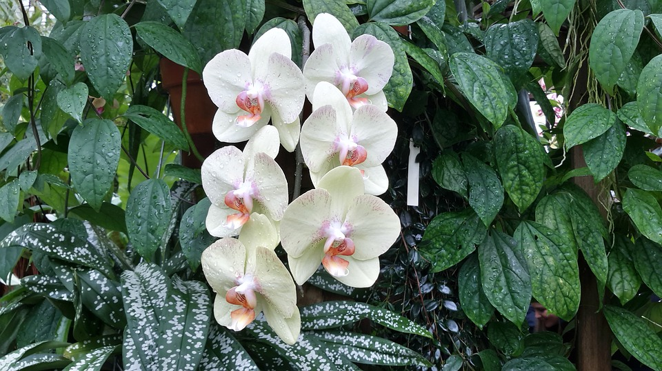 orchid-1186800_960_720