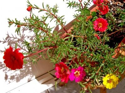 portulaca-grandiflora-moss-rose-eleven-oclock3