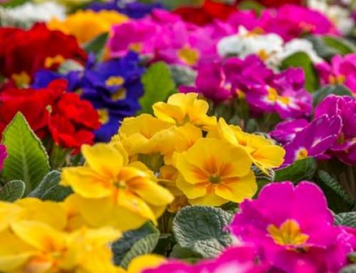 كيف غزت الأزهار والورود الملونة كوكبنا؟
