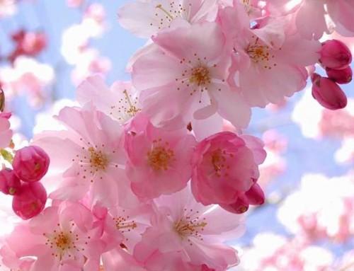 زهور الكرز تزيد الطاقة الإيجابية في فصل الربيع