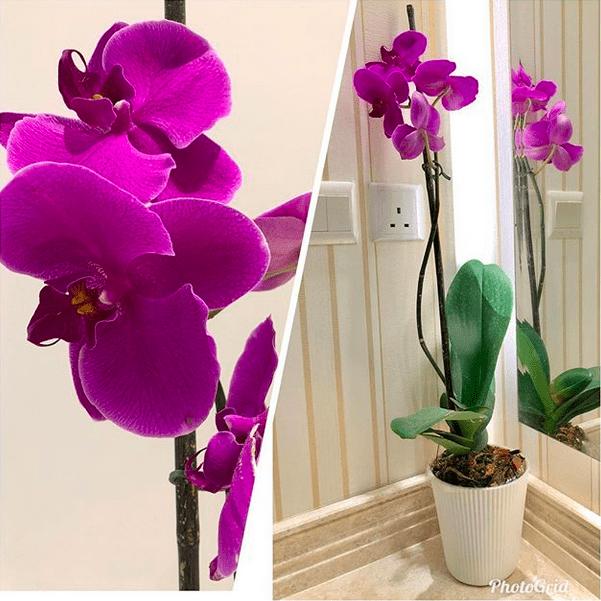 اوركيد الفراشة Orchid Phalaenopsis